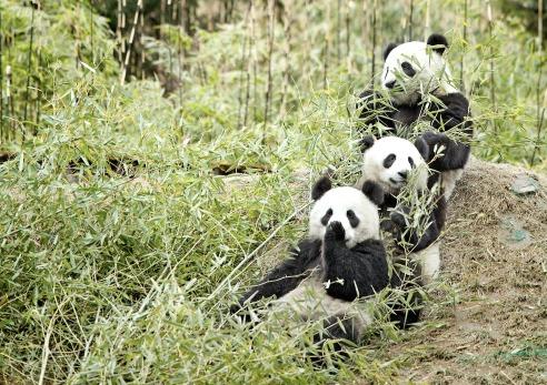 Toronto's Panda Twins